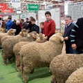 Sheep Competitions